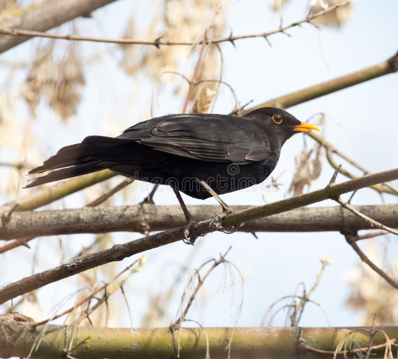Starling on tree. In the park in nature stock photography