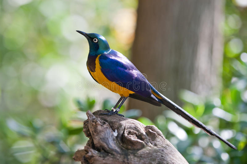 Starling. Tropical Colorful Bird on a tree trunk stock images