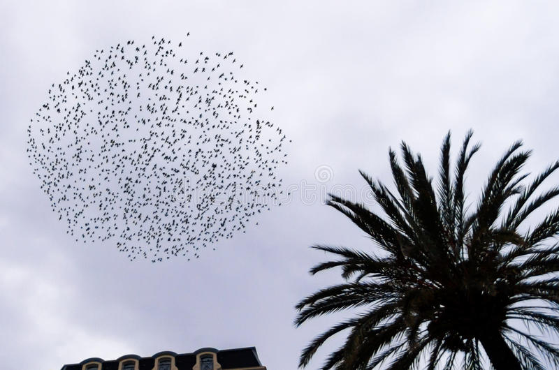 Starling in urban context. Starling (Sturnus vulgaris) flock in flight at dusk to winter roost royalty free stock images