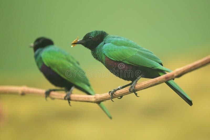 Starling verde smeraldo immagine stock