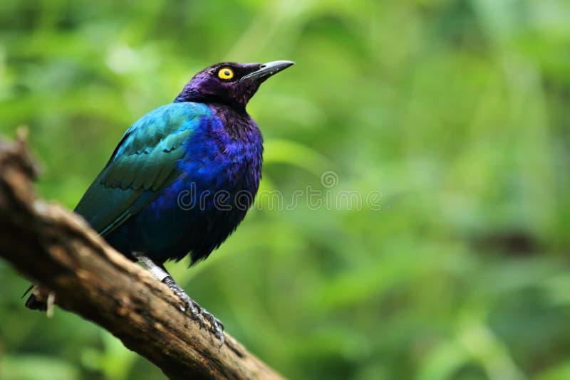 Starling viola fotografia stock libera da diritti