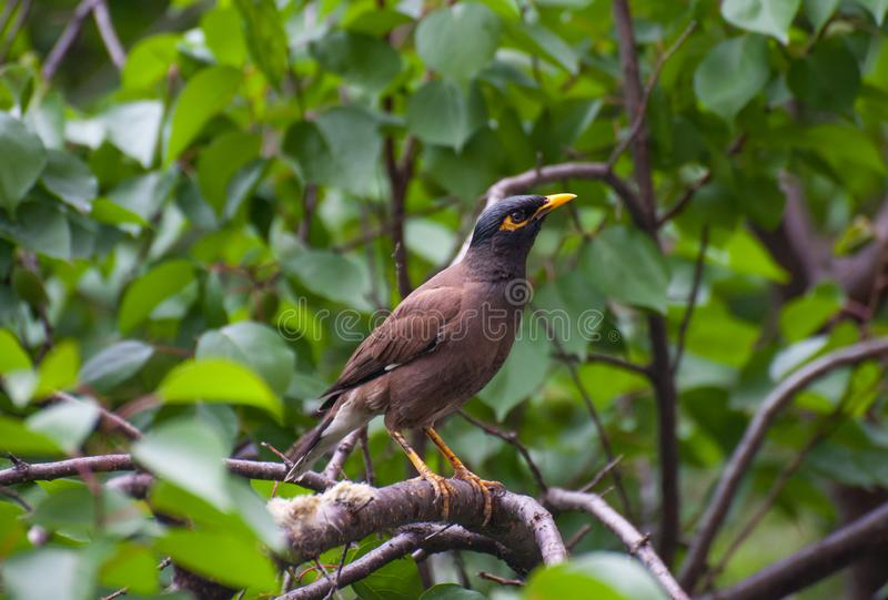 Starling with yellow beak on the green tree. A starling on the branch of a tree. A bird with yellow beak in the rainforest stock photo