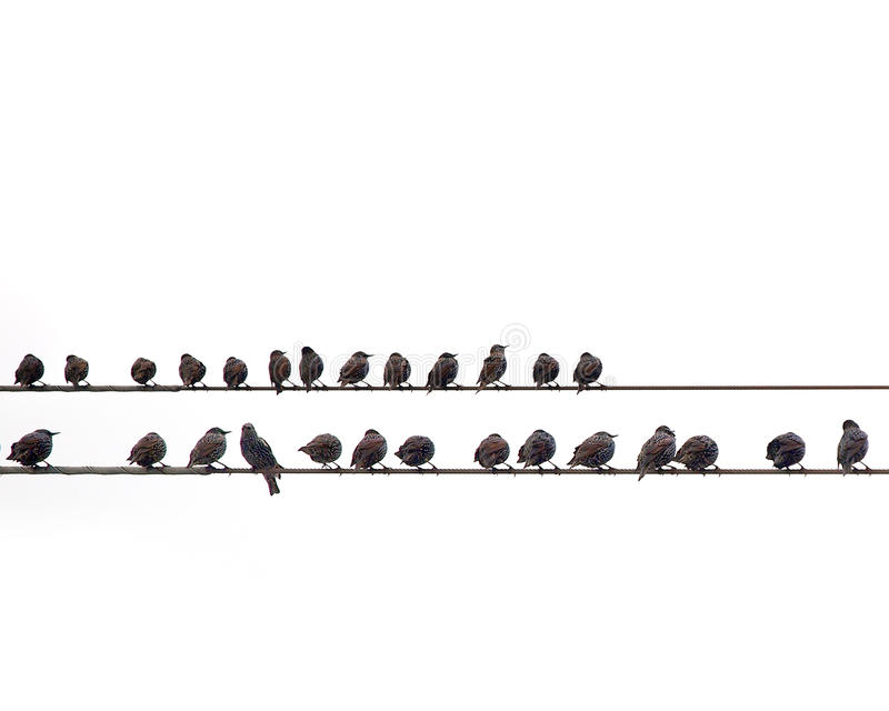 Starlings. Roosting on a wire stock photography