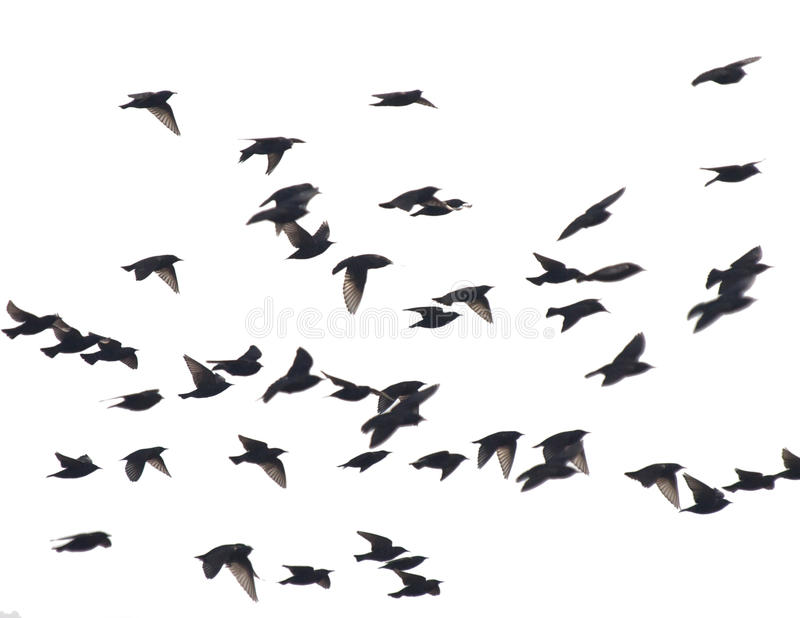 Starlings. Flock of starlings on white stock photos