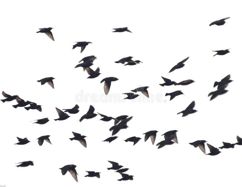 Starlings photos stock