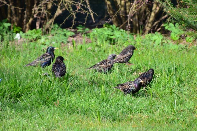 starlings fotografie stock libere da diritti