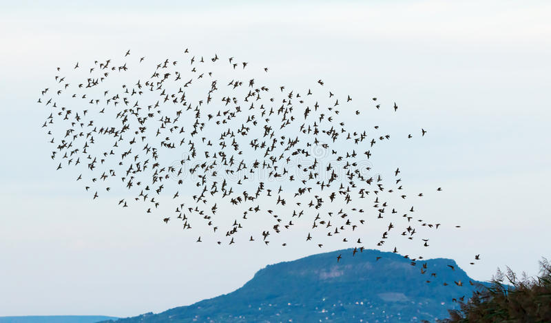 starlings images stock