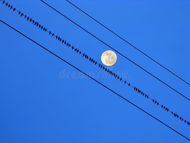 Starlings fotografia stock libera da diritti