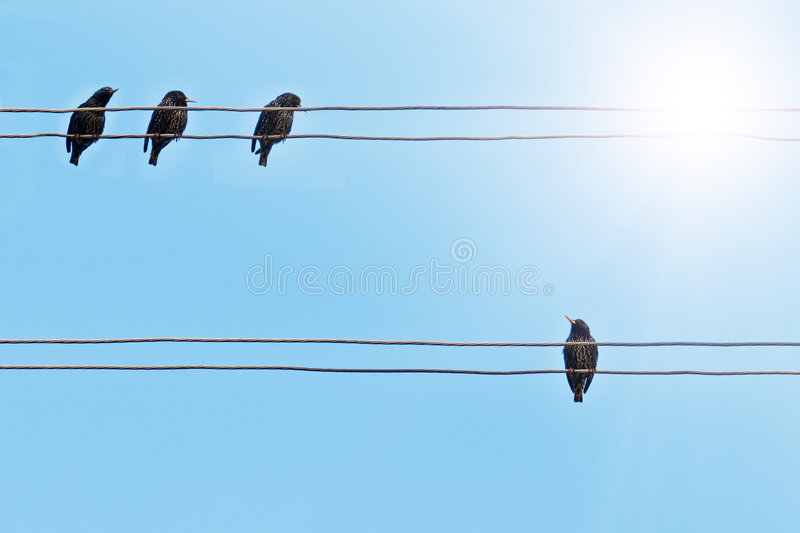 Starlings. On the electrical wire stock photography