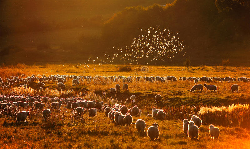 Starlings above the sheeps stock photography