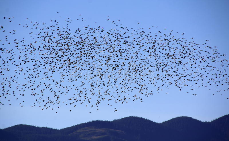 Starlings in Acrobatic Mass. Thousands of common Starlings fly in a coordinated mass stock photos