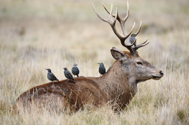Starlings on the back of a red deer stag. Flock of starlings looking out, before searching for parasites on a ruminating red deer stag stock photography