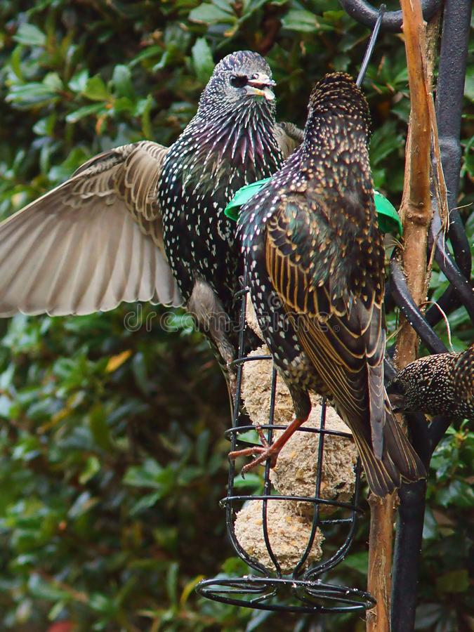 Starlings on a bird feeder. Adult starlings with stunning plumage on show royalty free stock photos