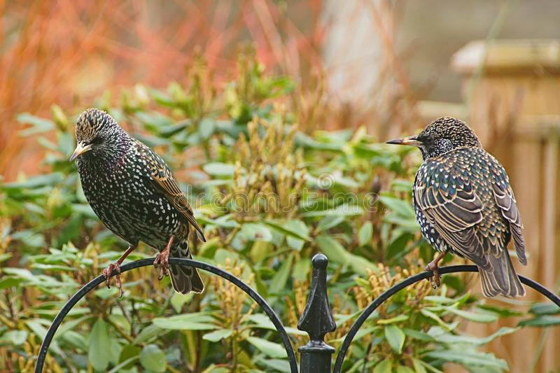 Starlings on a bird feeder. Adult starlings with stunning plumage on show. This shows both the back and front plumage in good detail stock photos