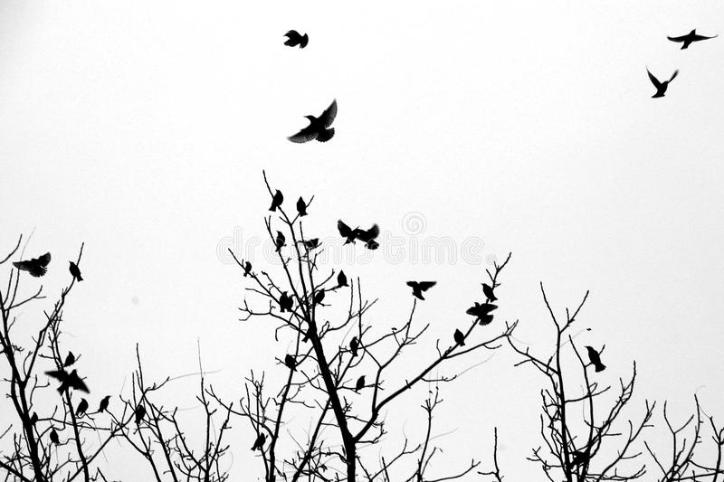 Starlings Birds in Bare Trees. Starlings gathering in bare trees in fall, sky is so blank that the photo looks black and white stock images