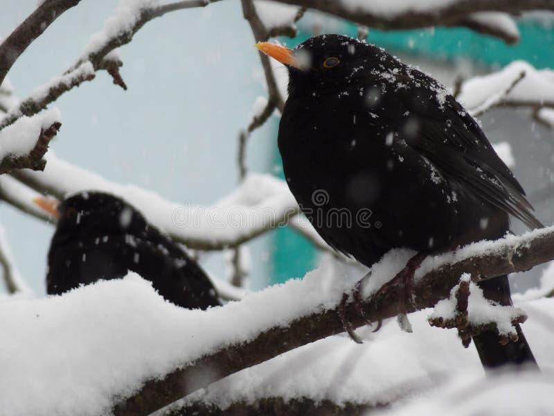 Starlings in de sneeuw op de boom royalty-vrije stock afbeeldingen