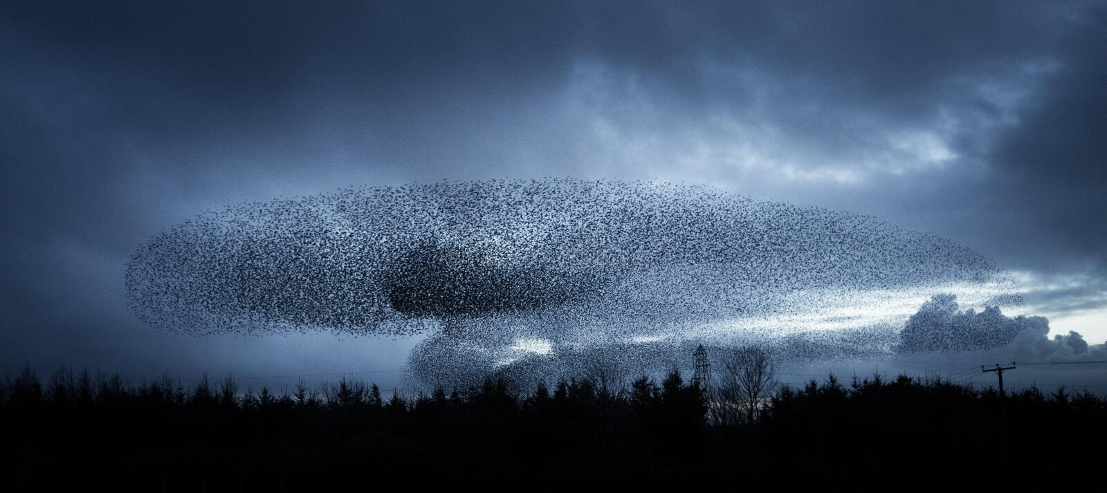 Starlings at Dusk. A murmuration of starlings (Sturnus vulgaris) at dusk in south west Scotland stock photos