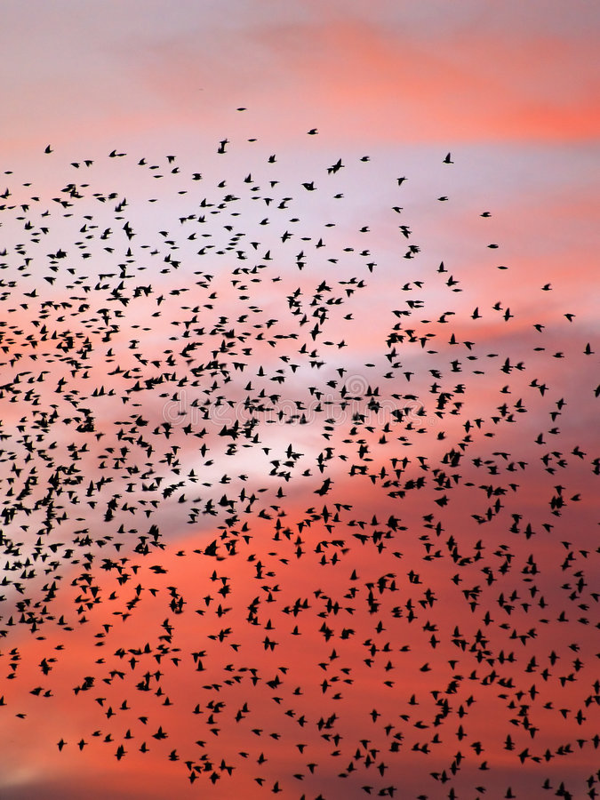 Starlings fill the night sky. A group of starlings fill the night sky before roosting for vthe evening stock images