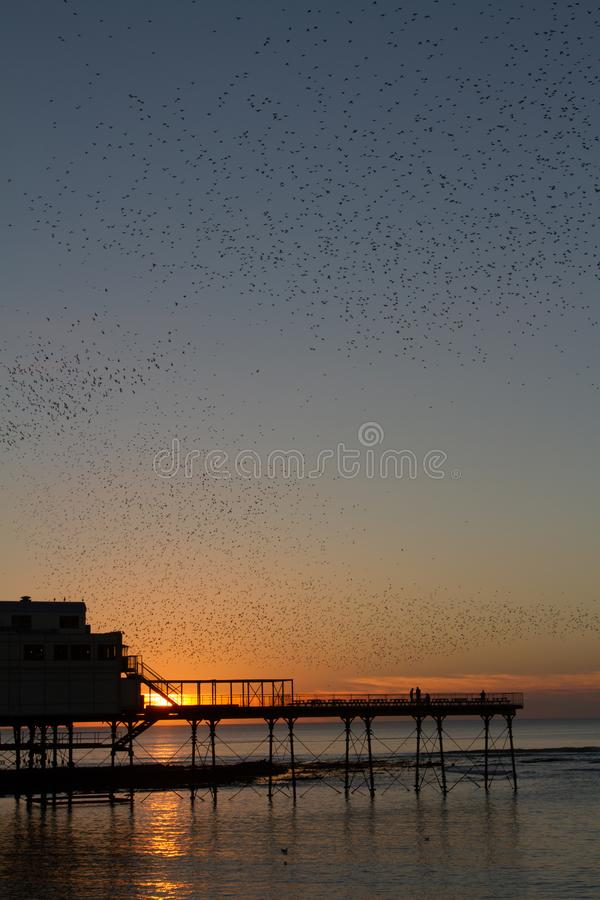 Starlings murmaration over Pier. Flocks of starlings murmarating over the pier in Aberystwyth with as sunset behind stock images