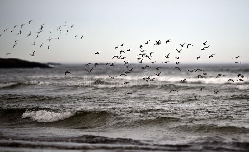 Starlings on Ocean Beach. Flock of Starlings Flying over Ocean Waves royalty free stock photography