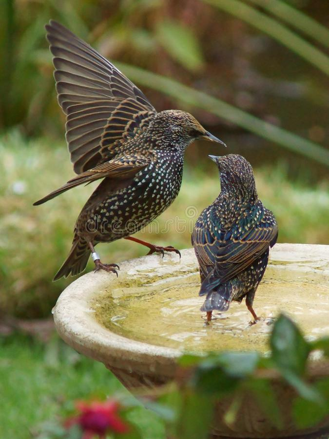 Starlings op een vogelbad royalty-vrije stock afbeeldingen