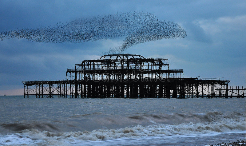 Starlings over the West Pier. A murmuration of starlings over the derelict West Pier in Brighton stock photography