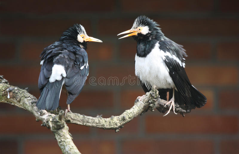 Starlings Pied asiático imagens de stock