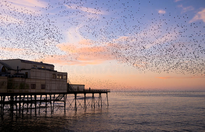 Starlings Roosting at Sunset. A murmuration of thousands of starlings roosting on a seaside pier at sunset in winter. Aberystwyth, Ceredigion, Wales, UK stock photo