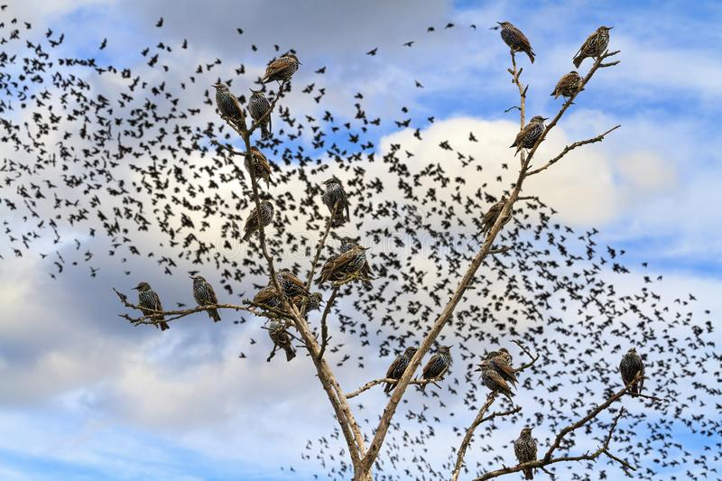 Starlings sitting on the branches against the sky with flocks of birds. Wildlife and bird migration royalty free stock photography