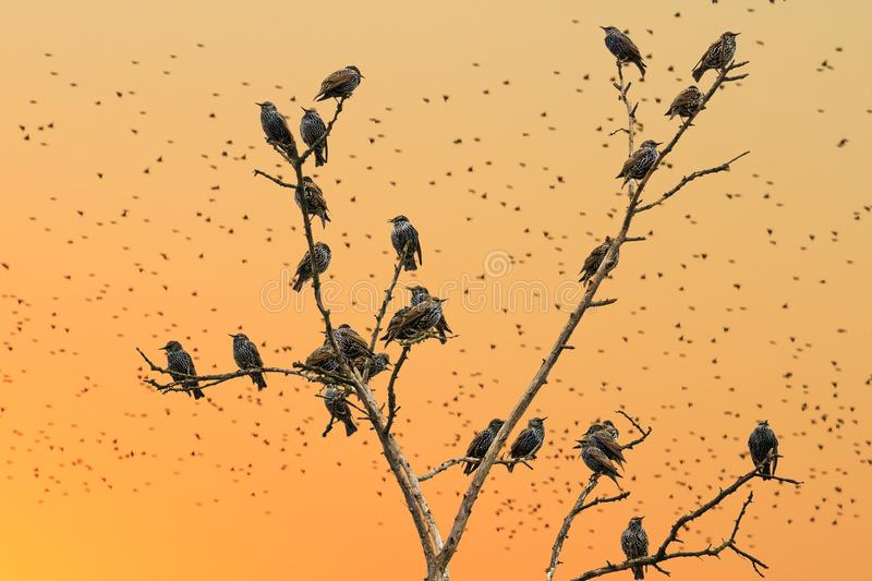 Starlings sitting on the branches on a background of orange sky. Wildlife and bird migration royalty free stock photos