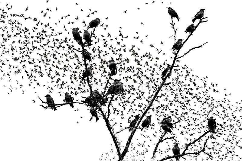 Starlings sitting on the branches of raster graphics. Wildlife and bird migration royalty free stock photography