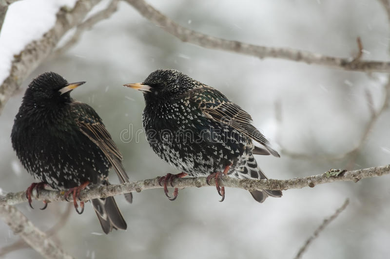 Starlings in snow. Pair of starlings in snow stock photos