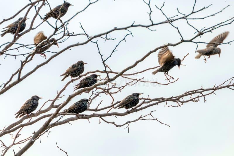 Starlings Sturnus Vulgaris a small flock of common starlings on tree. Wildlife royalty free stock photo