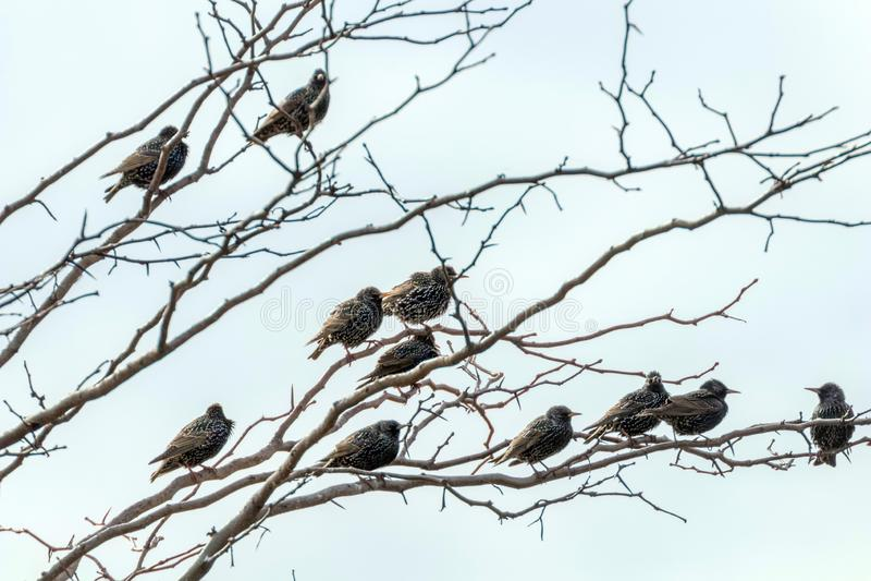 Starlings Sturnus Vulgaris a small flock of common starlings on tree. Wildlife stock photo
