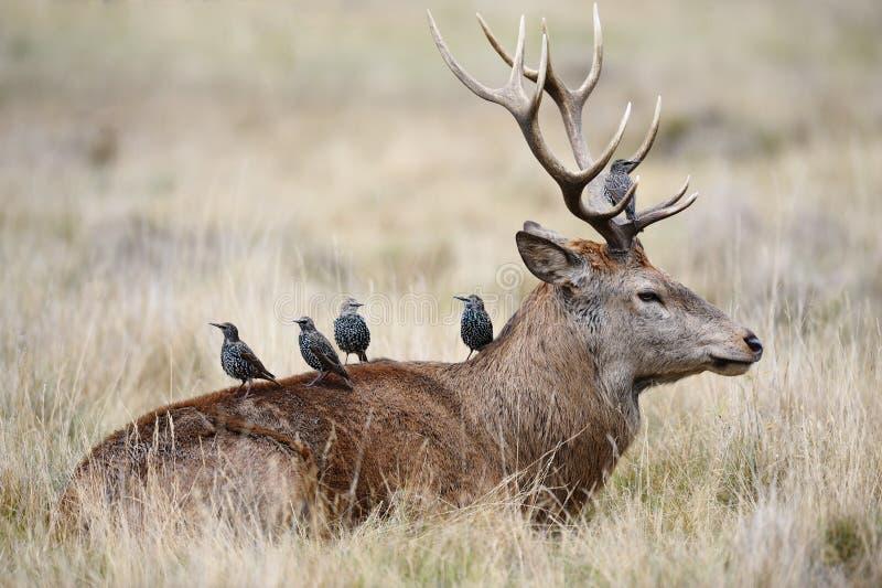 Starlings sur le dos d'un mâle de cerfs communs rouges photographie stock
