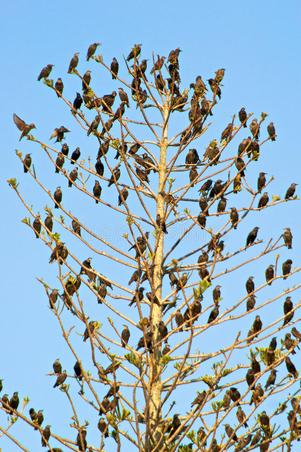Starlings in tree. A flock of starlings fills every availalbe space on this tree top stock photo