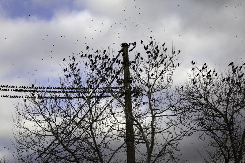 Starlings in trees. Migrating, birds in freedom, nature stock photos