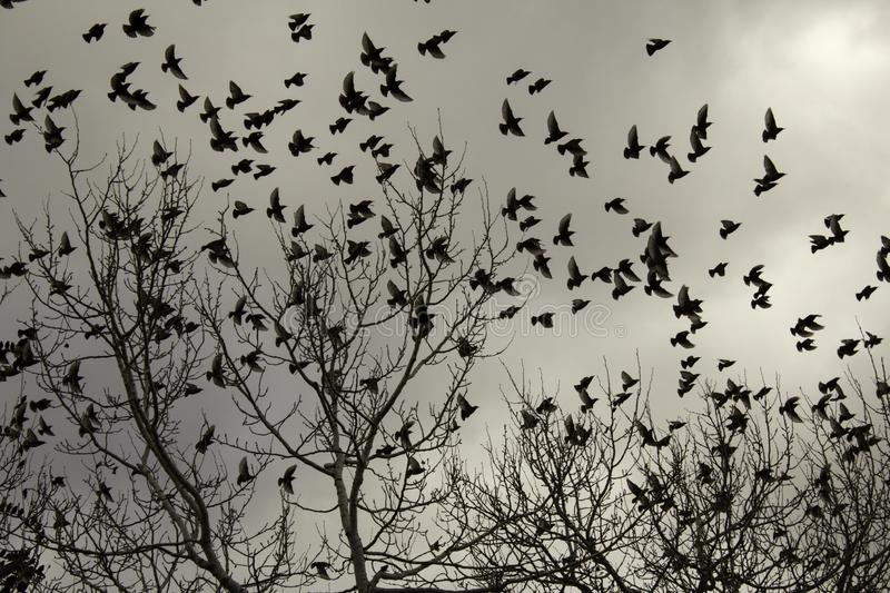 Starlings in trees. Migrating, birds in freedom, nature stock photography
