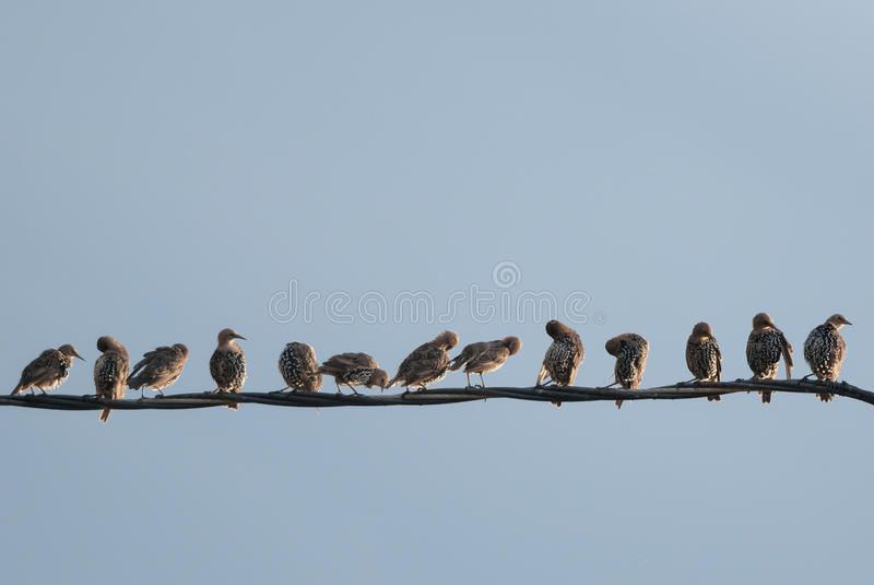 Starlings on a wire. Starlings gathering on a wire for autumn migration royalty free stock image