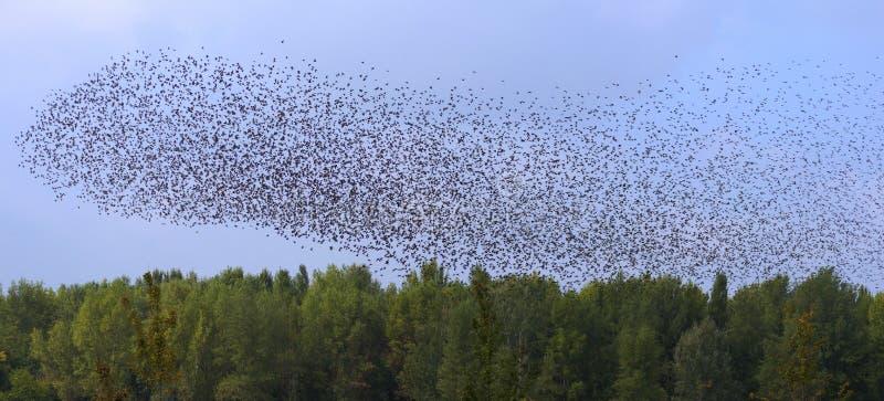 Starlingsonweer royalty-vrije stock foto's