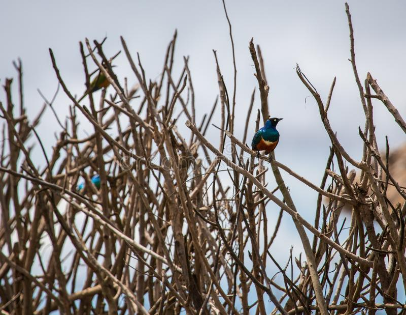Starlingszitting op een houten stok royalty-vrije stock afbeeldingen
