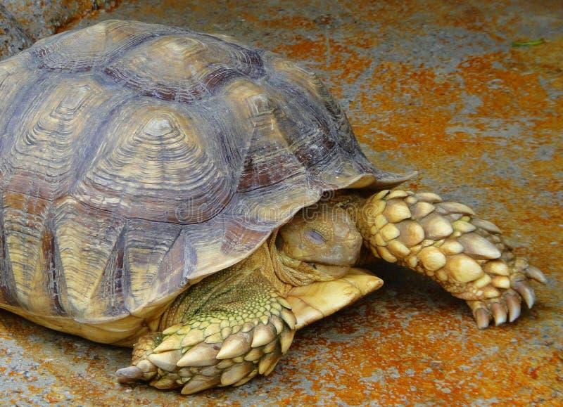 Starość żółw zdjęcia stock