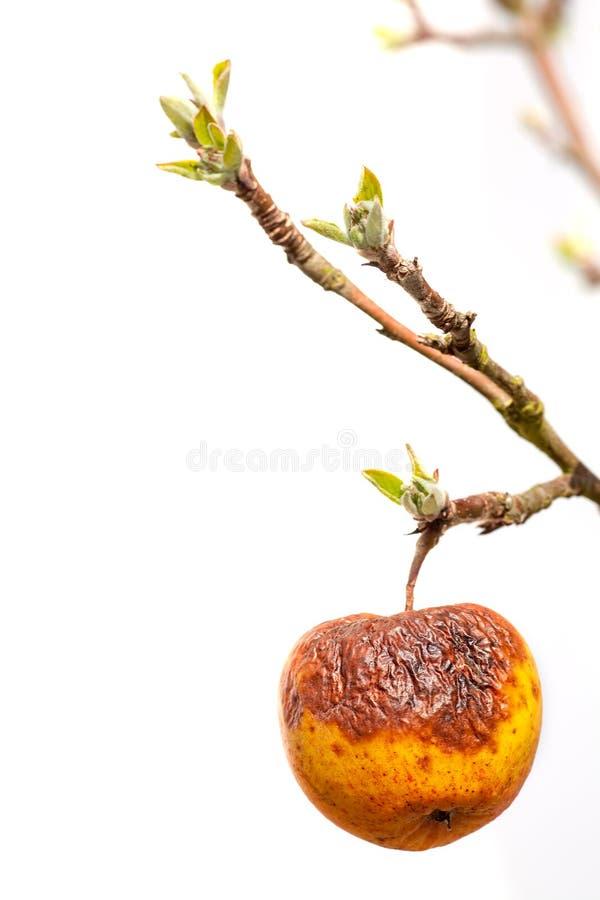Starość Jabłko ze zmarszczoną skórą na młodej gałęzi zdjęcie stock