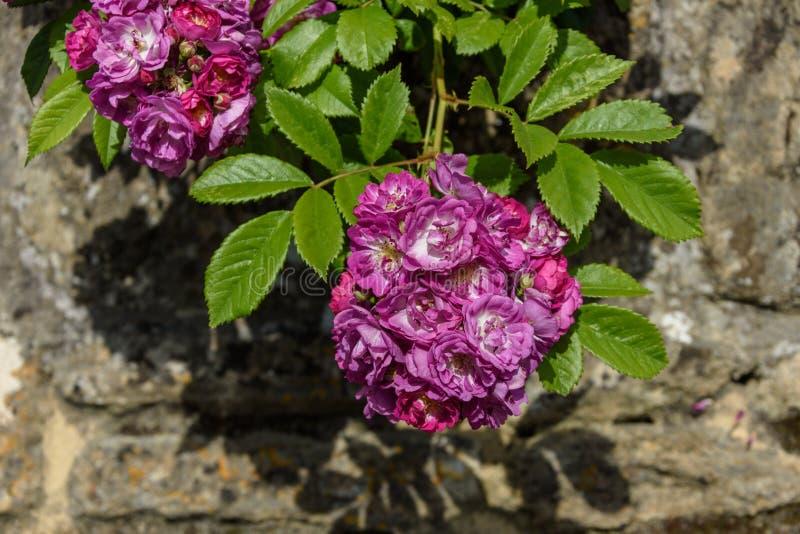 Staromodny róży grono przeciw pogodnej ścianie obraz royalty free