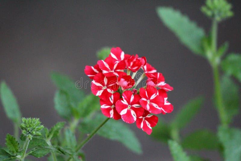 Starred växten för stjärnan för voodoo för söta drömmar för Verbena med den enkla klungan av livlig röd och peachy vit att växa f royaltyfria foton