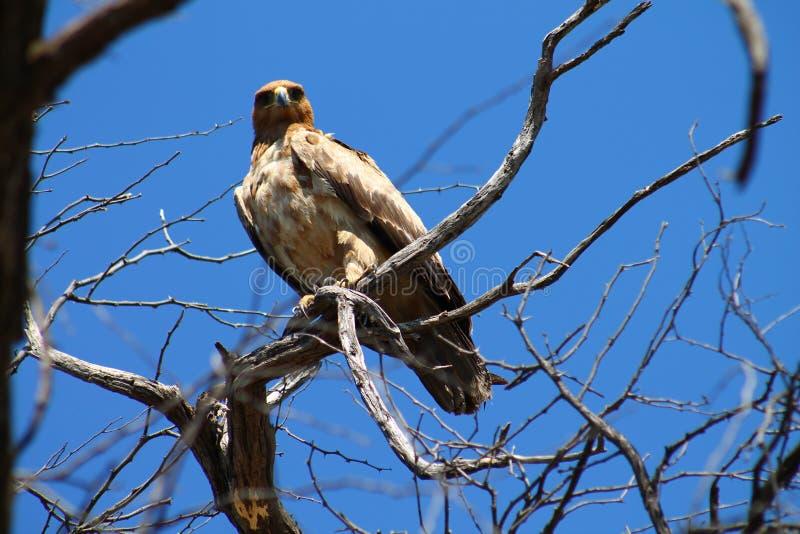 Starren eines gelb-braunen Adlers stockfotos