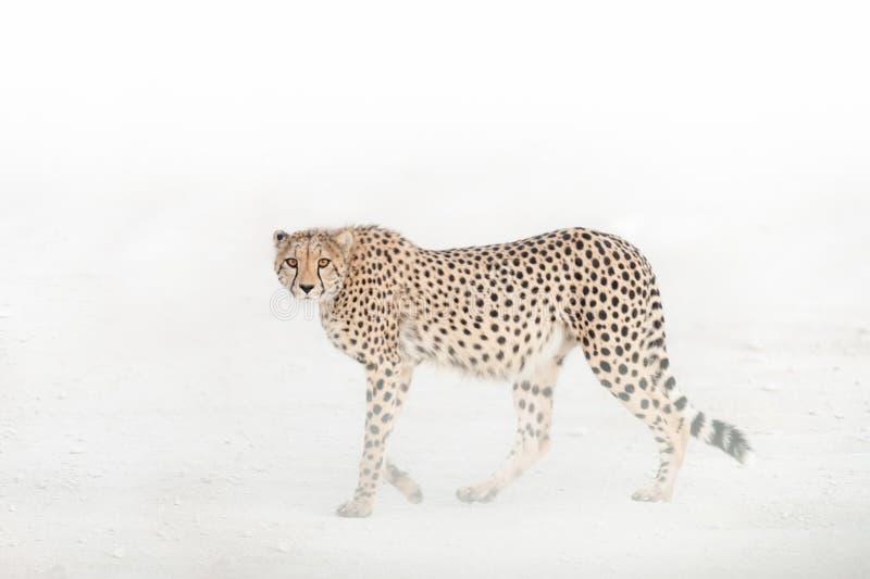 Starren Sie unten von einem Gepard, Nationalpark Etosha, Namibia an lizenzfreies stockbild