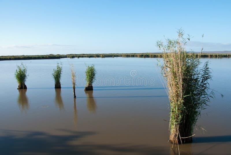 Starrgräs i vatten royaltyfri foto