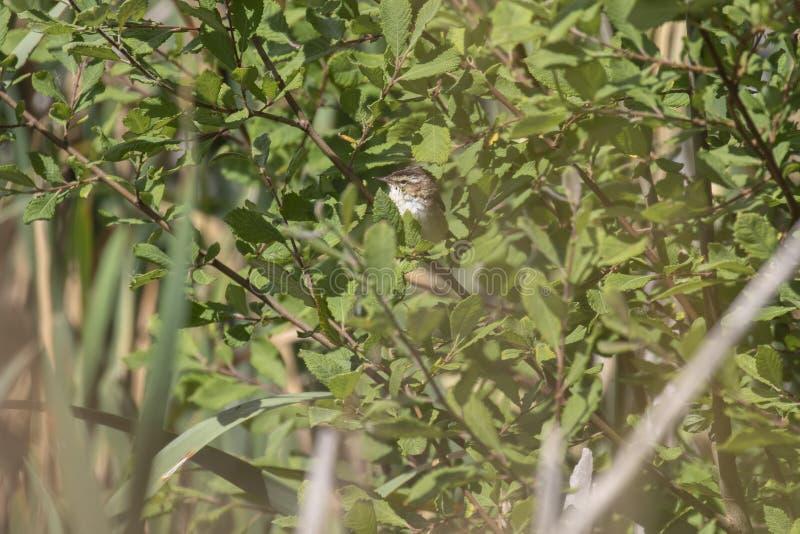 Starrgrässångare, Acrocephalusschoenobaenus som sjunger i en buske på en solig dag, Skottland, juli, eftermiddag royaltyfri bild