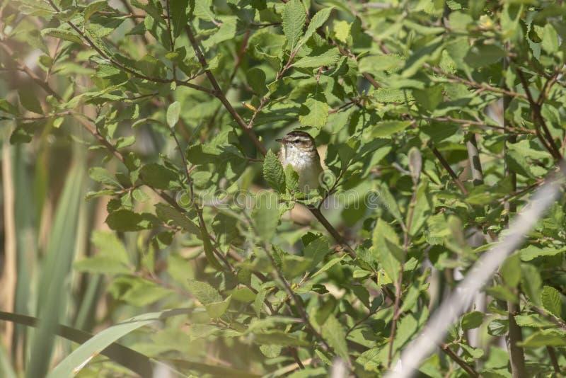 Starrgrässångare, Acrocephalusschoenobaenus som sjunger i en buske på en solig dag, Skottland, juli, eftermiddag royaltyfri foto